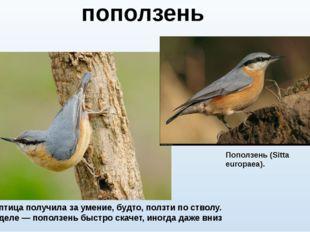 Название птица получила за умение, будто, ползти по стволу. На самом деле — п