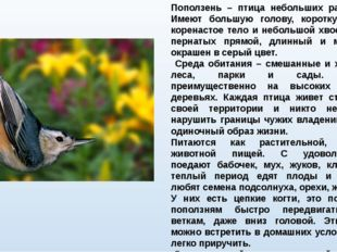 Поползень – птица небольших размеров. Имеют большую голову, короткую шею, кор