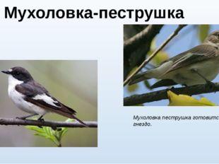 Мухоловка-пеструшка (лат. Ficedula hypoleuca) Мухоловка пеструшка готовится в