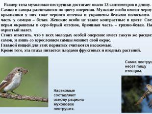 Размер тела мухоловки-пеструшки достигает около 13 сантиметров в длину. Самк