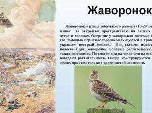 Жаворонок Жаворонок – птица небольшого размера (16-20 см), которая живет на о
