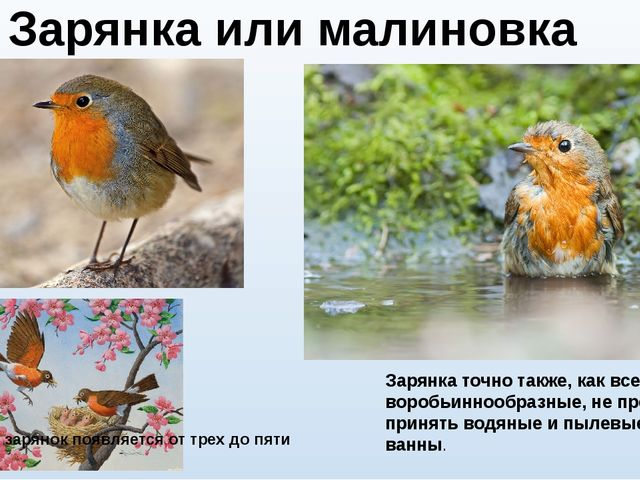 Зарянка точно также, как все воробьиннообразные, не прочь принять водяные и п...