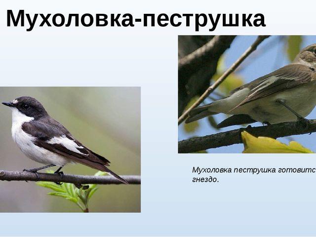 Мухоловка-пеструшка (лат. Ficedula hypoleuca) Мухоловка пеструшка готовится в...