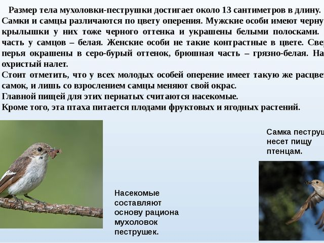 Размер тела мухоловки-пеструшки достигает около 13 сантиметров в длину. Самк...