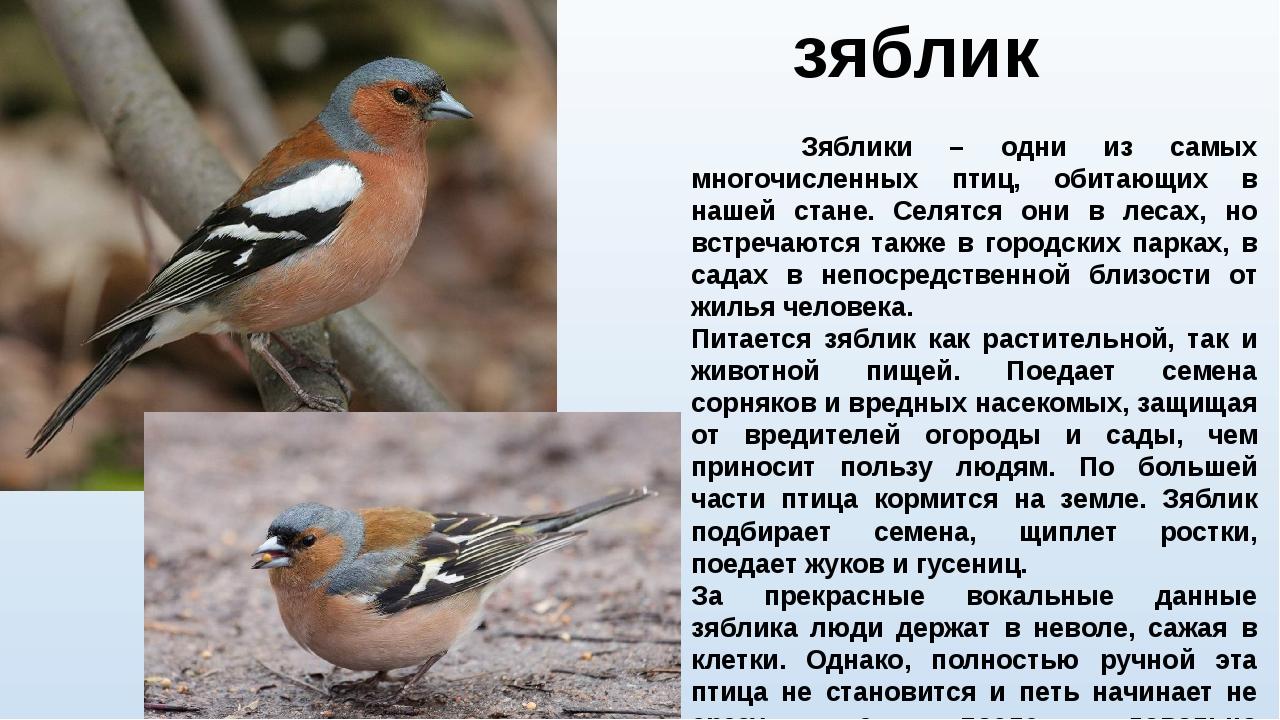 зяблик Зяблики – одни из самых многочисленных птиц, обитающих в нашей стане....