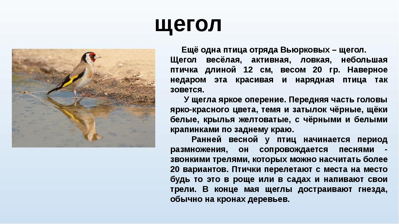 Ещё одна птица отряда Вьюрковых – щегол. Щегол весёлая, активная, ловкая, не...