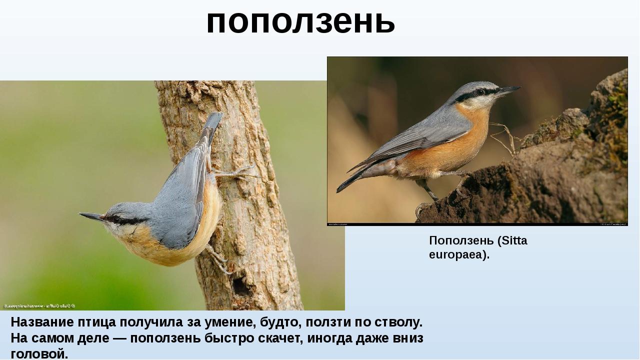 Название птица получила за умение, будто, ползти по стволу. На самом деле — п...
