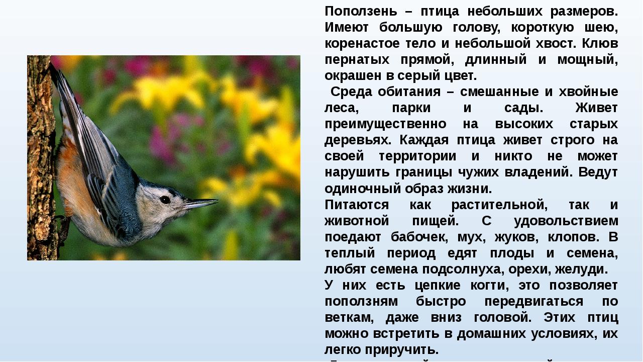 Поползень – птица небольших размеров. Имеют большую голову, короткую шею, кор...