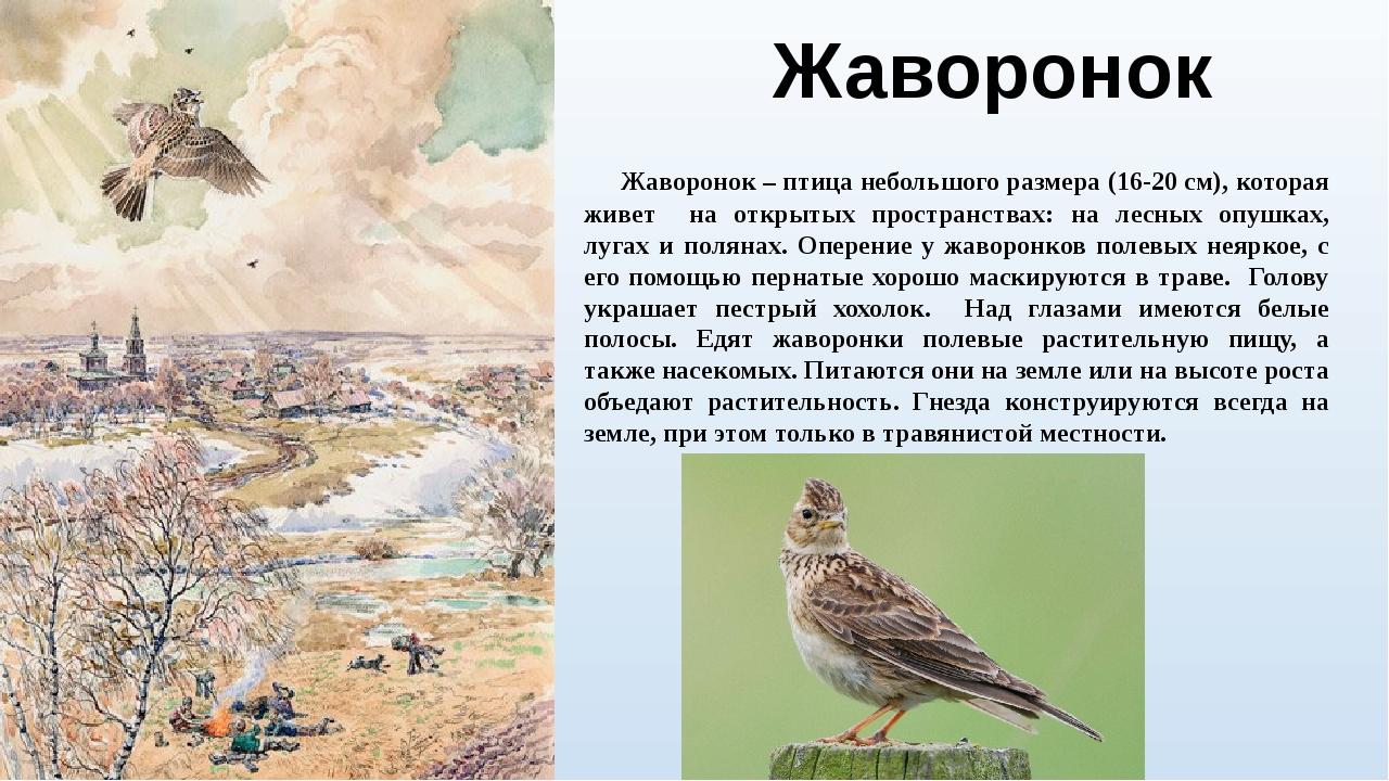 Жаворонок Жаворонок – птица небольшого размера (16-20 см), которая живет на о...