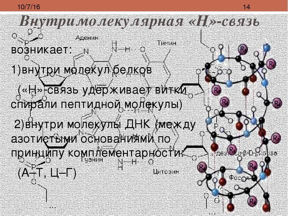 Внутримолекулярная «Н»-связь возникает: 1)внутри молекул белков («Н»-связь уд...