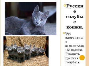 Русские голубые кошки. Это элегантные зеленоглазые кошки. Гладить русских гол