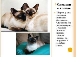 Сиамские кошки. Шерсть у них короткая, мягкая и блестящая. Окрашена она нерав