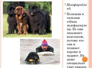 Ньюфаундленд. Большая и сильная собака ньюфаундленд. Её ещё называют водолазо