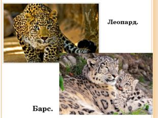 Леопард. Барс.