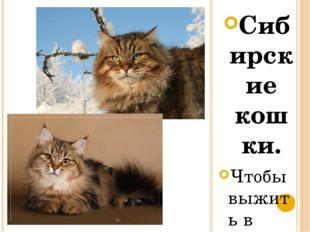 Сибирские кошки. Чтобы выжить в суровых условиях сибирской жизни, природа над