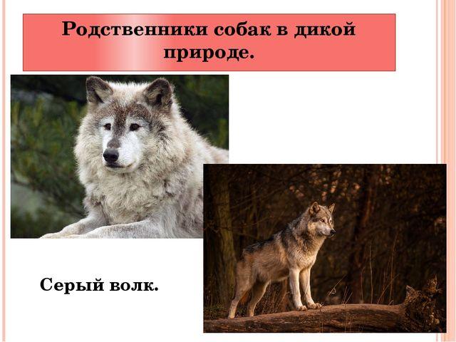 Родственники собак в дикой природе. Серый волк.