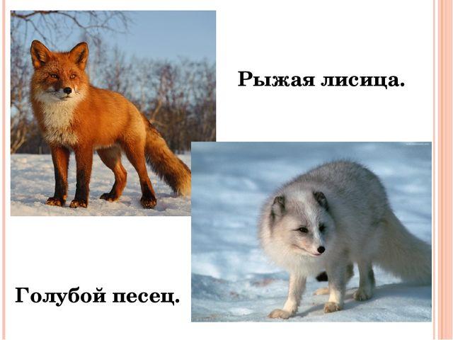 Рыжая лисица. Голубой песец.