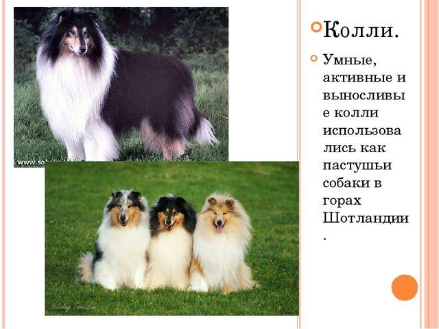 Колли. Умные, активные и выносливые колли использовались как пастушьи собаки...