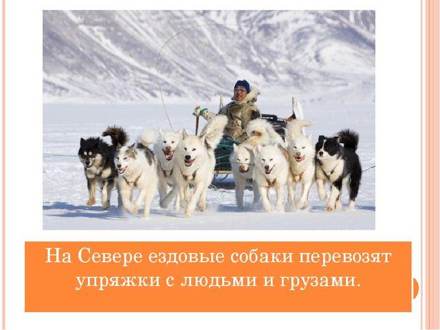 На Севере ездовые собаки перевозят упряжки с людьми и грузами.
