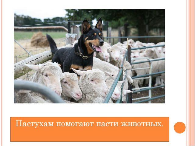 Пастухам помогают пасти животных.