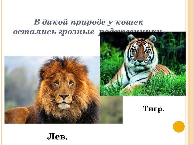В дикой природе у кошек остались грозные родственники. Лев. Тигр.