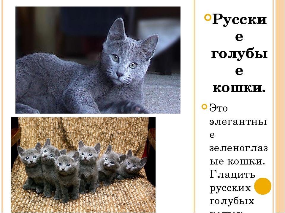 Русские голубые кошки. Это элегантные зеленоглазые кошки. Гладить русских гол...