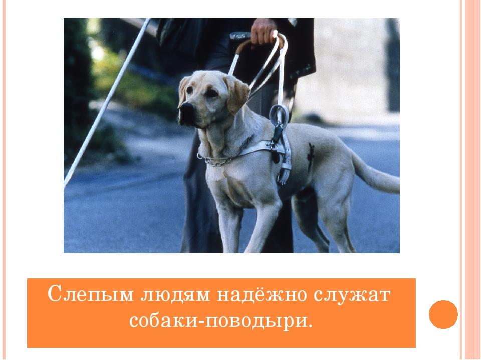 Слепым людям надёжно служат собаки-поводыри.