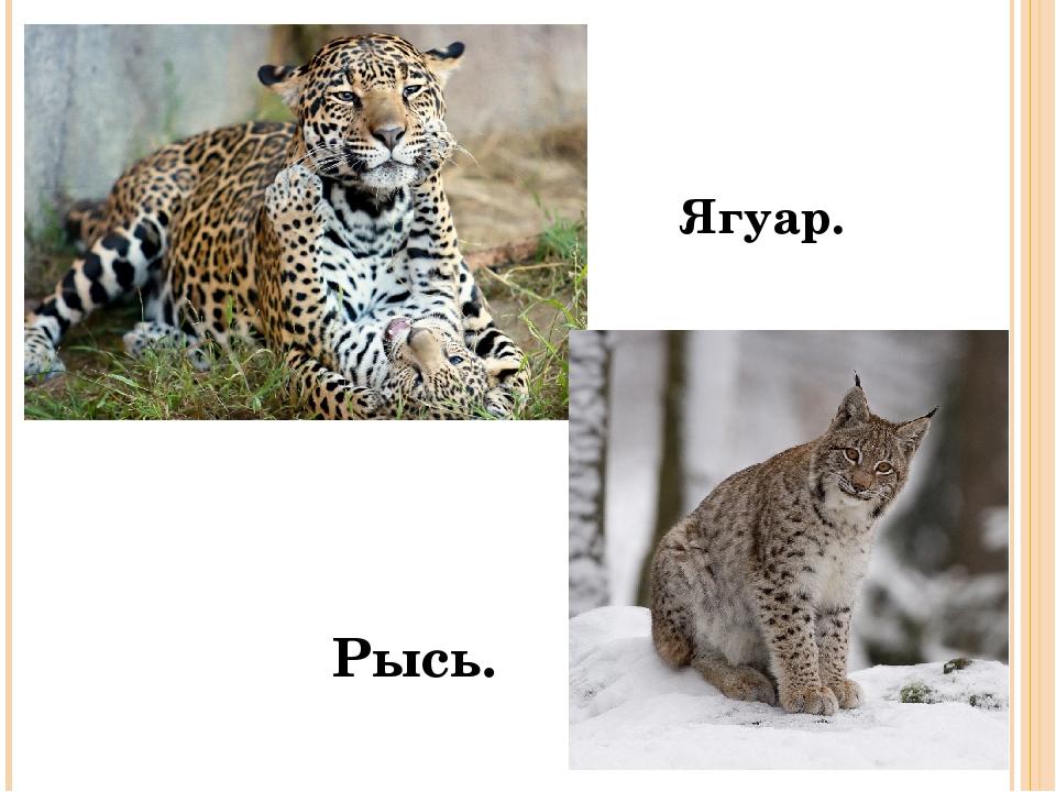 Ягуар. Рысь.
