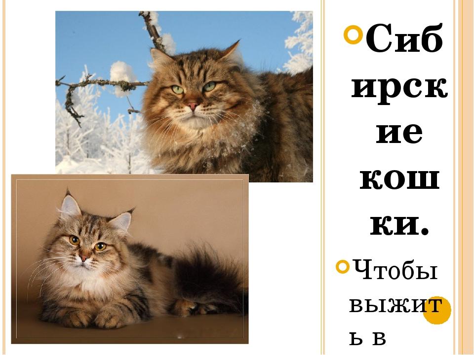 Сибирские кошки. Чтобы выжить в суровых условиях сибирской жизни, природа над...
