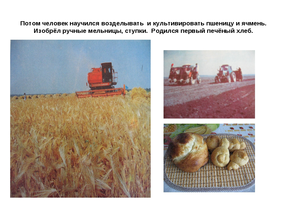 Потом человек научился возделывать и культивировать пшеницу и ячмень. Изобрёл...