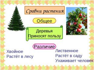 Сравни растения Общее Различие Деревья Приносят пользу Хвойное Растёт в лесу