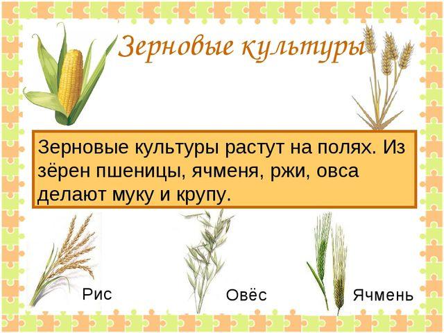 Зерновые культуры Зерновые культуры растут на полях. Из зёрен пшеницы, ячмен...