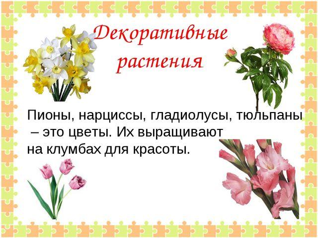 Декоративные растения Пионы, нарциссы, гладиолусы, тюльпаны – это цветы. Их...