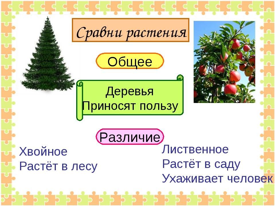 Сравни растения Общее Различие Деревья Приносят пользу Хвойное Растёт в лесу...