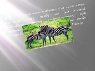 Зебра — экзотическое животное. Она имеет почти мифический облик, между тем эт