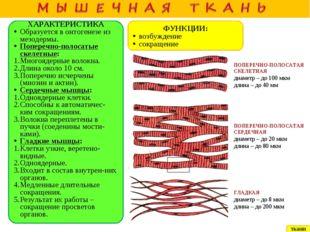 ХАРАКТЕРИСТИКА Образуется в онтогенезе из мезодермы. Поперечно-полосатые ске