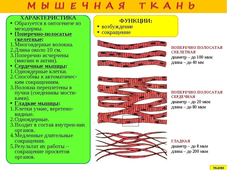 ХАРАКТЕРИСТИКА Образуется в онтогенезе из мезодермы. Поперечно-полосатые ске...