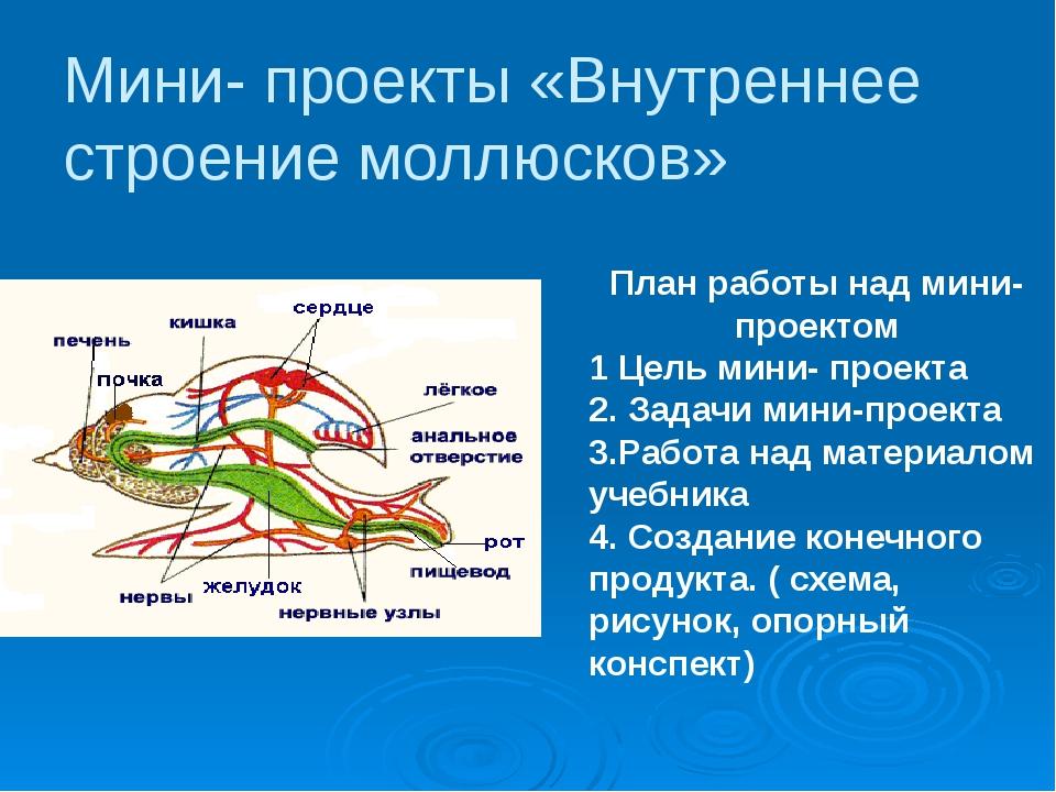 Мини- проекты «Внутреннее строение моллюсков» План работы над мини- проектом...