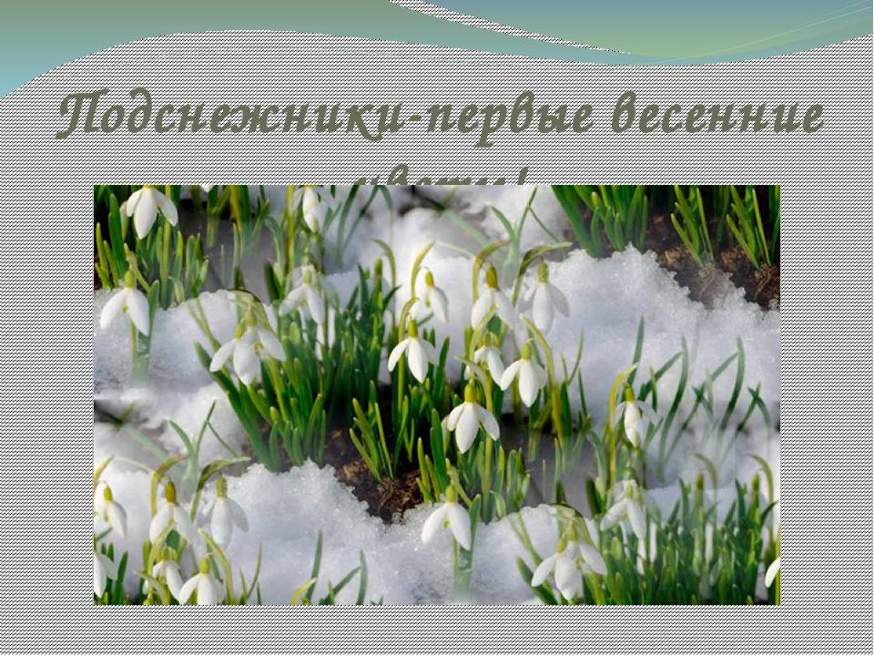 Подснежники-первые весенние цветы!