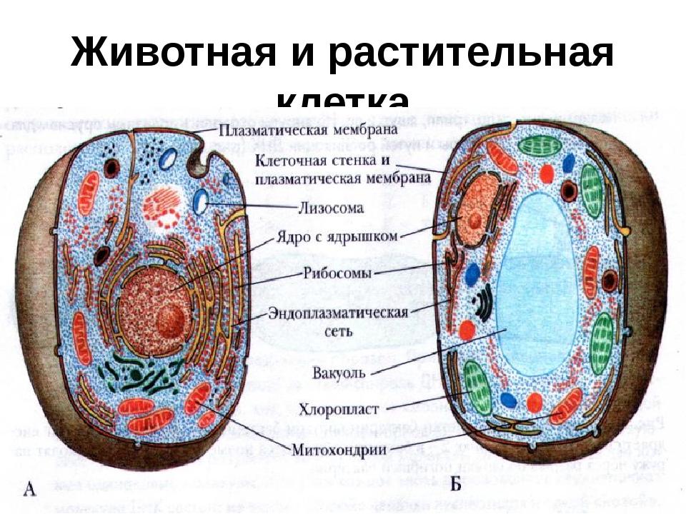 Картинка по биологии клетка