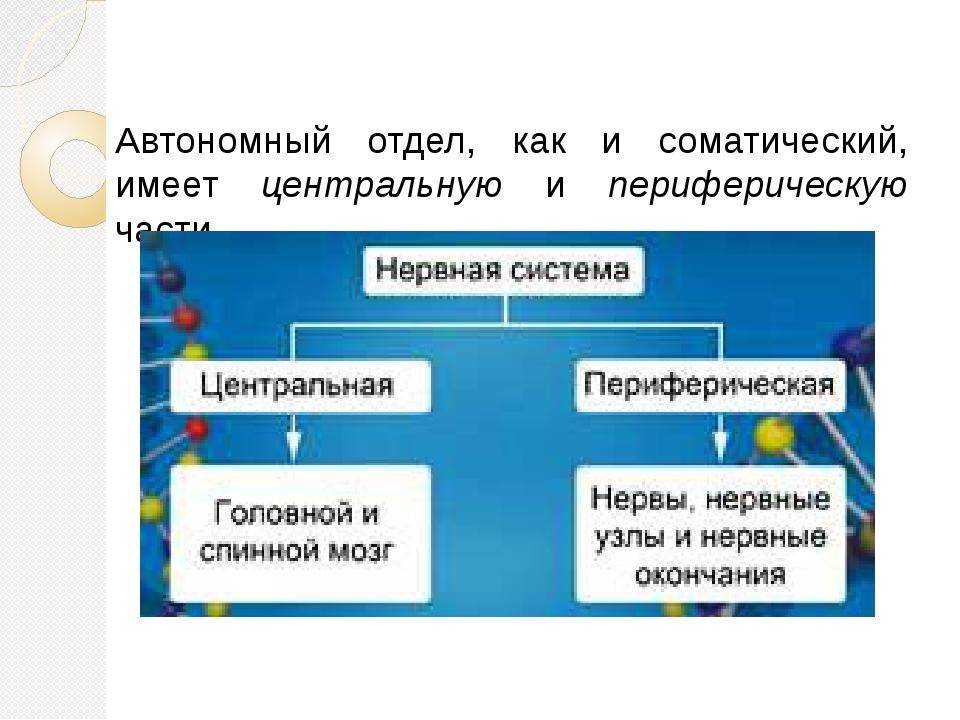 Автономный отдел, как и соматический, имеет центральную и периферическую части.