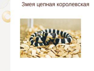 Змея цепная королевская