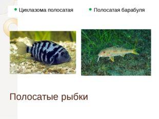Полосатые рыбки Цихлазома полосатая