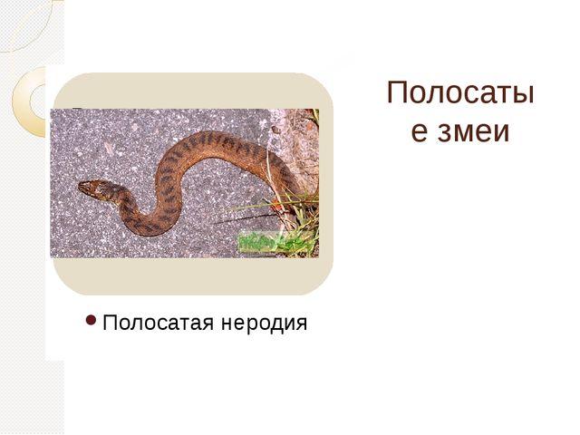 Полосатые змеи Полосатая неродия