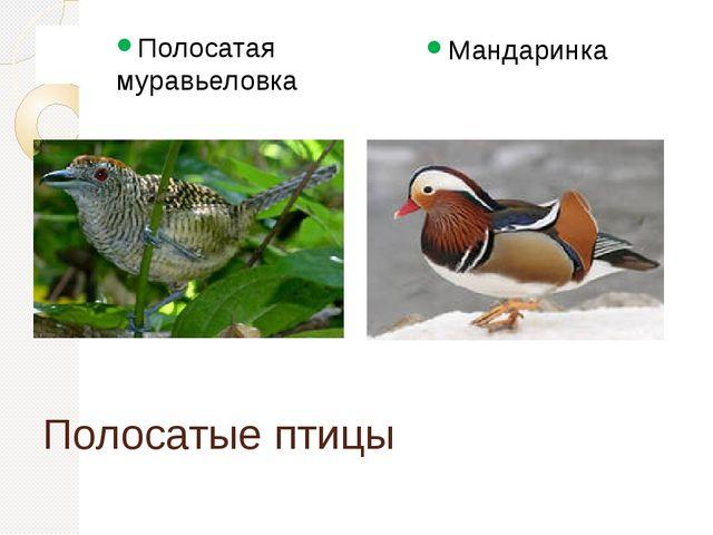 Полосатые птицы Полосатая муравьеловка