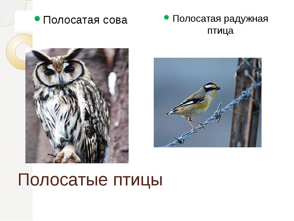 Полосатые птицы Полосатая сова