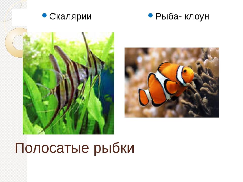 Полосатые рыбки Скалярии