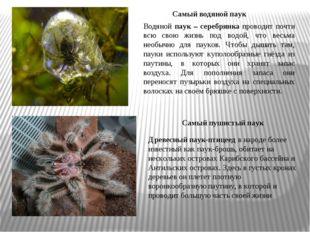 Древесный паук-птицеед в народе более известный как паук-брошь, обитает на не