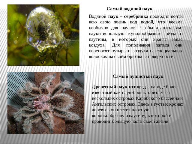 Древесный паук-птицеед в народе более известный как паук-брошь, обитает на не...