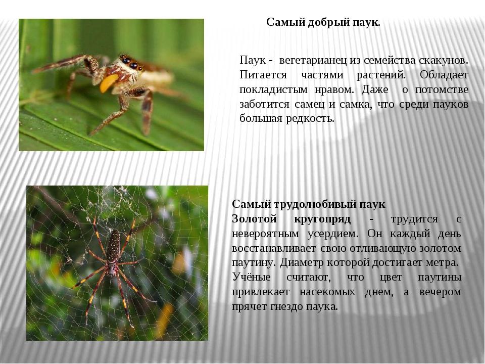 . Самый трудолюбивый паук Золотой кругопряд - трудится с невероятным усердием...